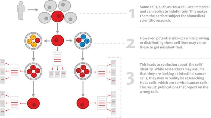 How HeLa possibly contaminated other cell cultures