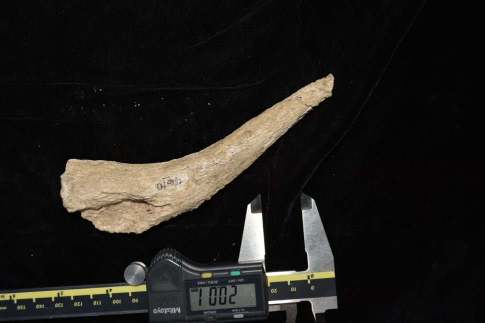Horn core of a fossil springbok from the early Middle Stone Age. | Tyler Faith