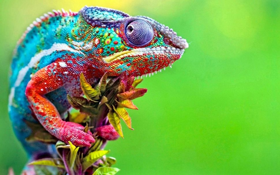 An extremely colorful chameleon. | Chilmay | Shutterstock.com