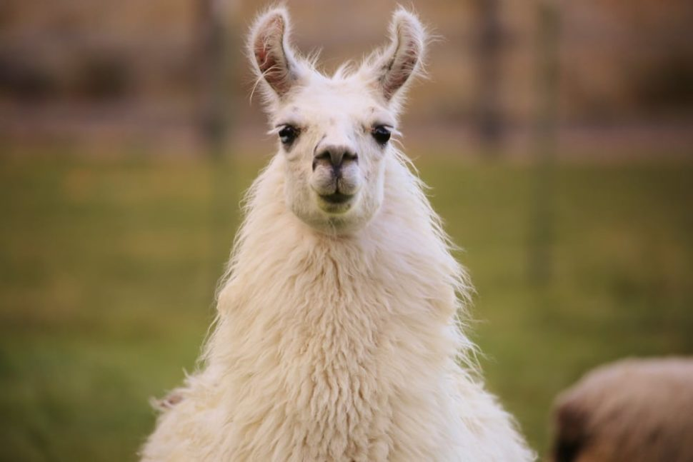 Llamas, along with being some of the fluffiest animals on the planet, may now be one of the most beneficial to the human race thanks to antibodies derived from their biological systems. | Image by Kellen Slight | Shutterstock