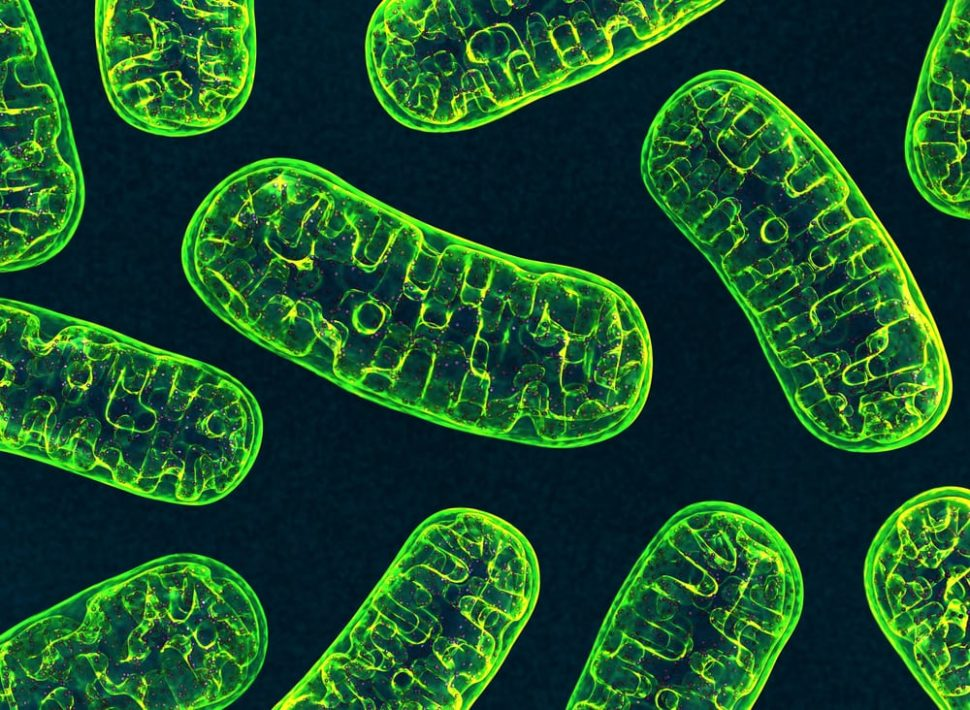 Mitochondria are one of the most vital parts of our biological makeup. Now, scientists may have discovered a new property that could help us fight aging. | Image by 3d_man  | Shutterstock