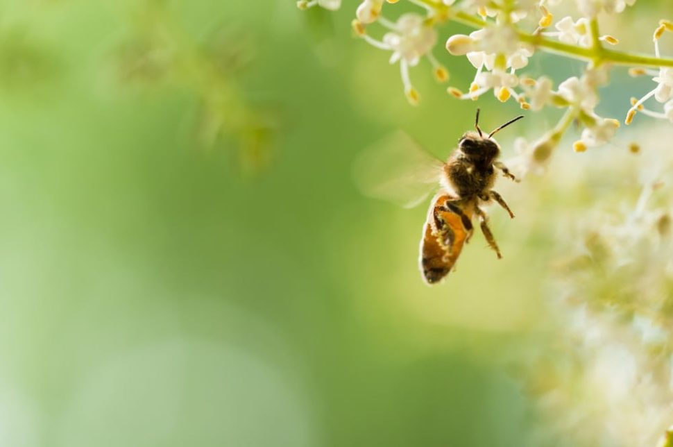 Along with pollinating our crops and helping the environment, bees now provide us with a solution to our plastic waste problem. | Image By Feng Lu | Shutterstock