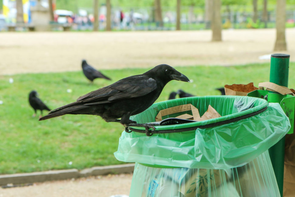 Dutch startup Crowded Cities is planning on training crows to collect cigarette waste in order to clean up urban areas. | Image By JakubD | Shutterstock