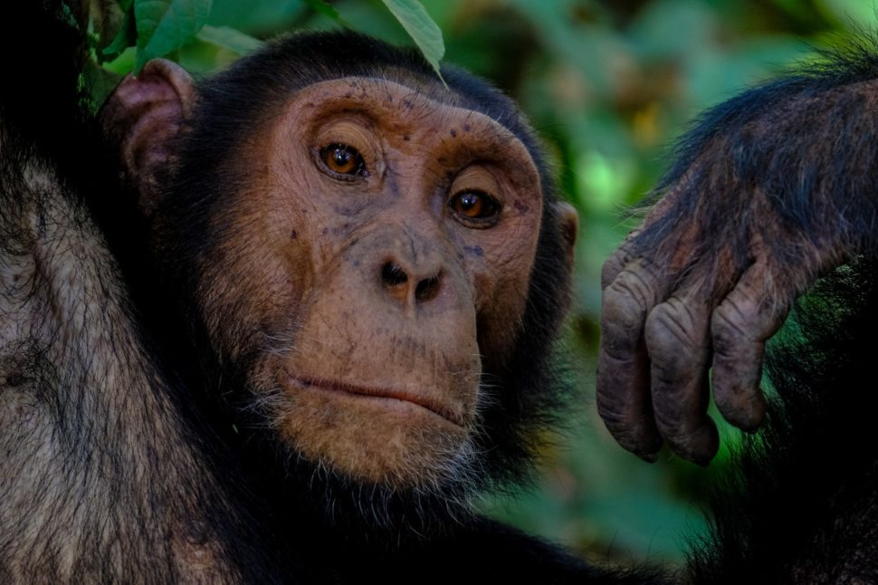 Studying the nature of chimpanzees could give insight not only on ourselves, but on the future of AI communication. ¦ Pexels
