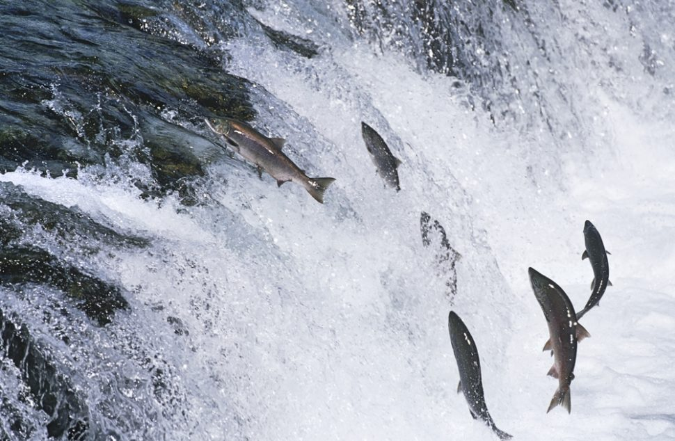 Although some groups have raised concerns, genetically modified salmon could help streamline the production process of this fish. ¦ Shutterstock