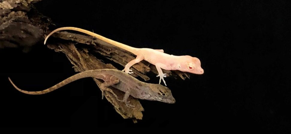 One of the four albino lizards, alongside a non-modified example   Image Credit: University of Georgia