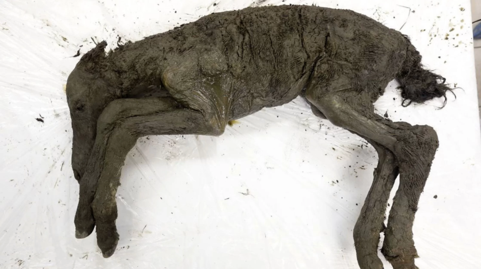 42,000-year-old Lena Horse foal